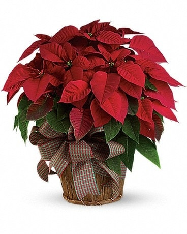 Large Red Poinsettia Plant Gifts