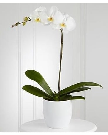 Exotic White Orchid Plant