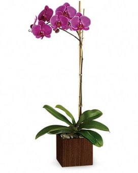 Sublime Single Orchid Plant