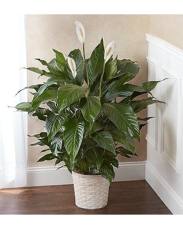 Peace Lily Plant for Sympathy Flower Arrangement