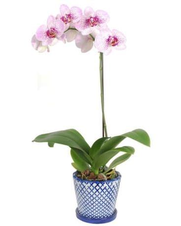 Phalaenopsis Orchid Plant In A Blue And White Pot