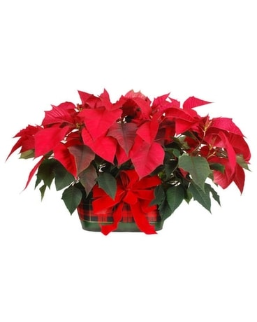 Plaid Pot with Two Single Poinsettias Plant