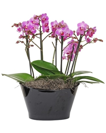 Double Orchid Plant in a Black Container Flower Arrangement
