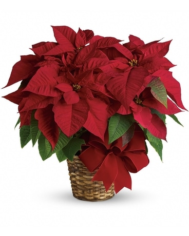 Red Poinsettia in a Basket Plant