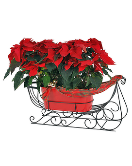 Double Poinsettia Sleigh