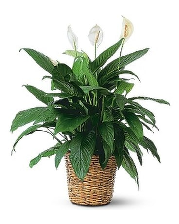 Large Spathiphyllum Plant Flower Arrangement