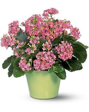 Pink Kalanchoe Flower Arrangement