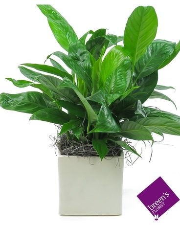 Classic Peace Lily (Ceramic) Flower Arrangement