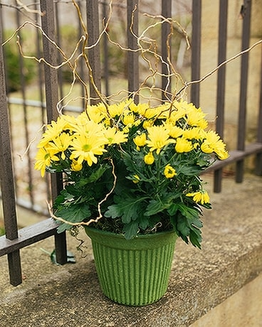 Potted Chrysanthemum Plant