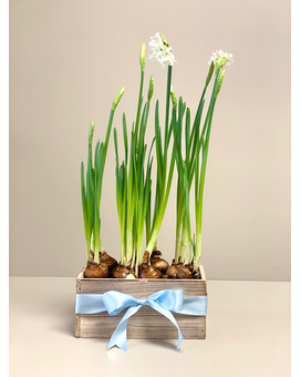 Paperwhite Bulbs in Wooden Box Gifts