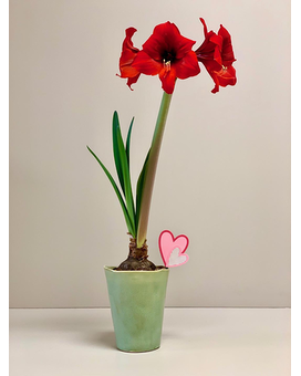 Amaryllis Bulb in Pot Gifts