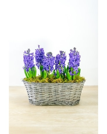 Double Hyacinth Basket Plant