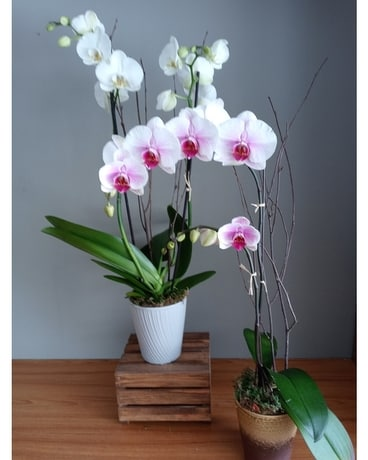 Our Signature Orchid Plants Plant