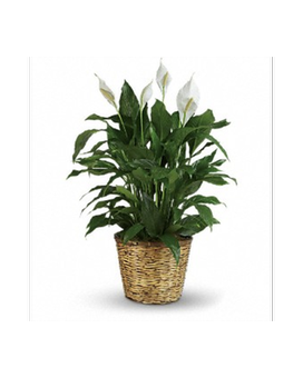 Pretty Peace Lily - Medium