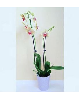 Grower's Choice Orchid Special