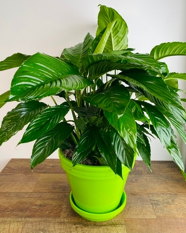 Peace Lily in Lime Plant