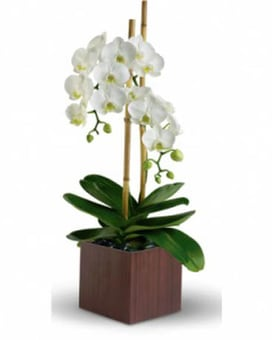Opulent Orchids in Dark Box
