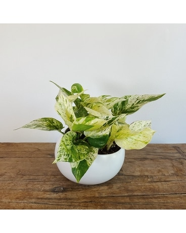 Queen Marble Pothos Flower Arrangement