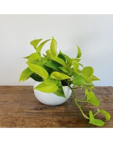 Neon Pothos Flower Arrangement