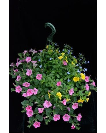 Assorted Annual Hanging Basket Plant