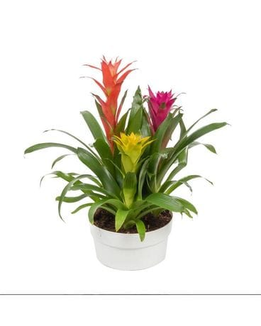 Bromeliad Plant Flower Arrangement