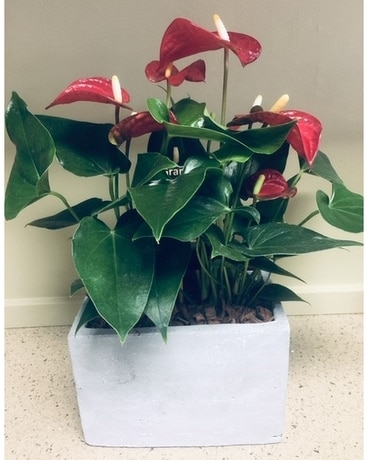 Anthurium Plant Flower Arrangement