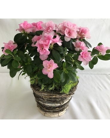 Acknowledging Azalea Plant
