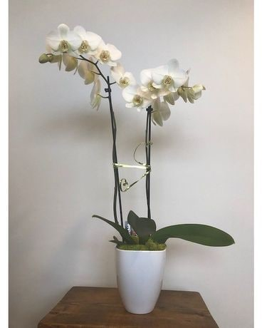 Phalaenopsis Orchid Double Stemmed