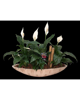 Cream Peace Lily Boat Plant