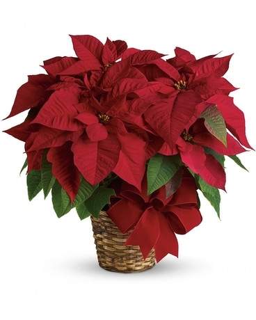 RED POINSETTIA CHRISTMAS FLOWERS Flower Arrangement