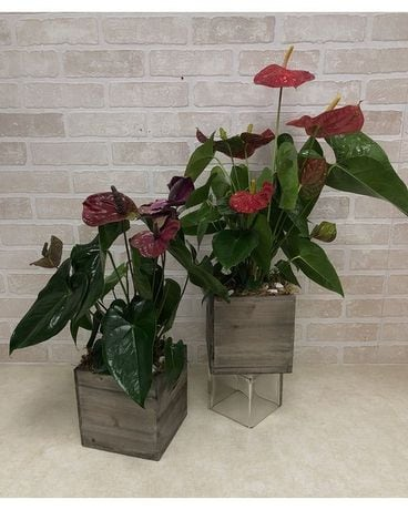 Wooden Box Anthurium Plant