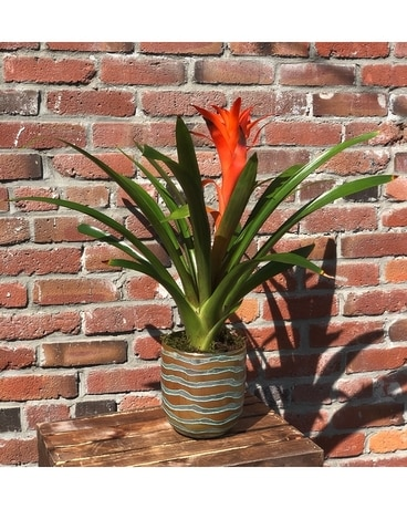 Bromeliad on Fire Plant
