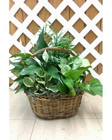 Oval Willow Basket with assorted foliage plants Plant