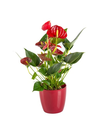 anthurium Flower Arrangement