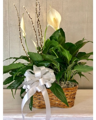 Welch's Serene Spathiphyllum Plant