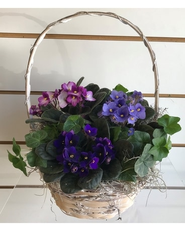 African Violet Garden With Ivy Plant