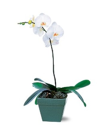 Plants delivery hot springs ar johnson floral co phalaenopsis orchid plant mightylinksfo