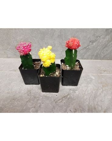 SALE SALE Grafted Cacti Plant