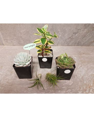 Cacti / Air Fern Combo DEAL Plant