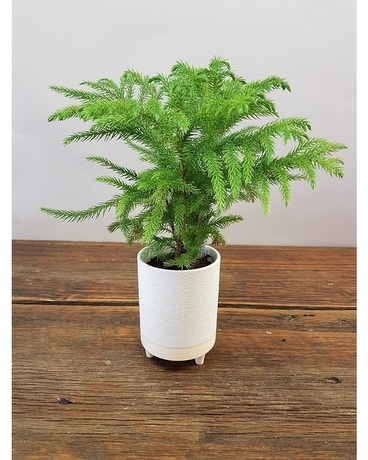 Norfolk Pine Mini Plant