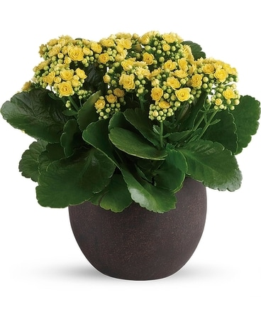 Forever Yellow Kalanchoes Flower Arrangement