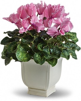 Sunny Cyclamen Flower Arrangement