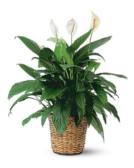 Simply Elegant Spathiphyllum - Large Flower Arrangement