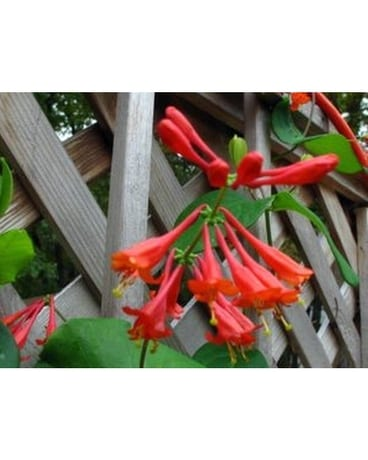 "Honeysuckle/Lonicera periclymenum ""Scentsation"""