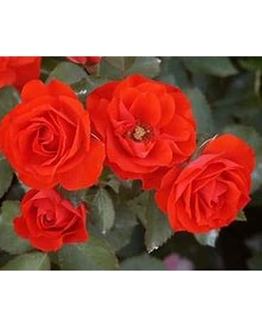 Rose Bush - Brilliant Veranda (Floribunda) Plant