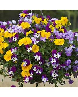 10in Hanging Basket: Pansy,Viola Freefall Mix