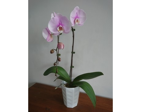 Simply Pink Orchid Plant