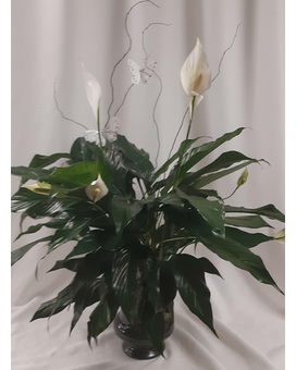 Peaceful Spathiphyllum Flower Arrangement