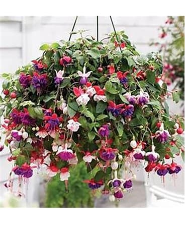 Shade Hanging Basket Fuschia Flower Arrangement