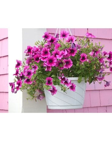 Hanging Baskets Plant